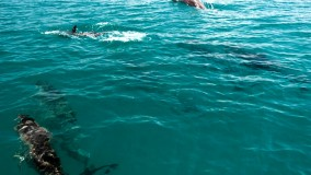 Dolphins frolicking in Mount Norris Bay