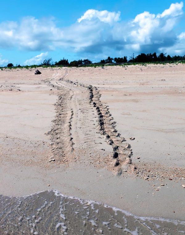 Tracks of a nesting turtle