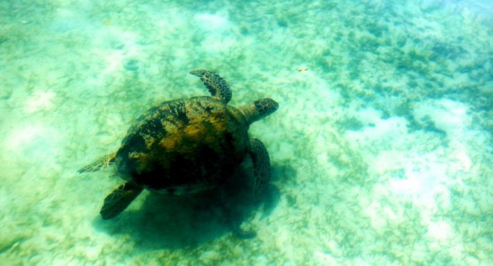 A turtle swimming blissfully in the crystal clear water