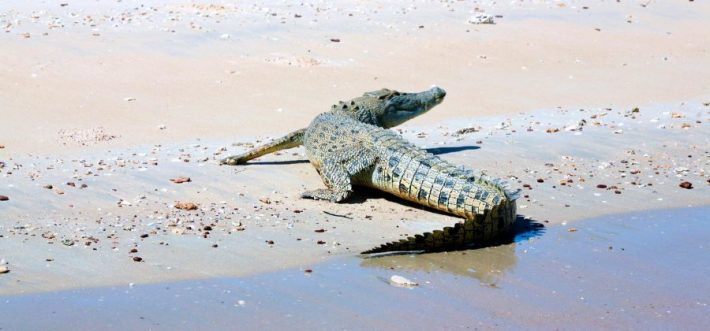 A cheeky little salt water croc having a rest on the beach.